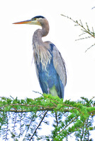 Blue Heron in Beaverton Oregon